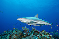 pk10244-D. Caribbean Reef Shark (Carcharhinus perezi). Bahamas, Atlantic Ocean..Photo Copyright © Brandon Cole. All rights reserved worldwide.  www.brandoncole.com..This photo is NOT free. It is NOT in the public domain. This photo is a Copyrighted Work, registered with the US Copyright Office. .Rights to reproduction of photograph granted only upon payment in full of agreed upon licensing fee. Any use of this photo prior to such payment is an infringement of copyright and punishable by fines up to  $150,000 USD...Brandon Cole.MARINE PHOTOGRAPHY.http://www.brandoncole.com.email: brandoncole@msn.com.4917 N. Boeing Rd..Spokane Valley, WA  99206  USA.tel: 509-535-3489