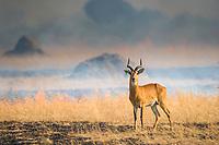 Uganda Kob, burning grass in Queen Elizabeth National Park, Uganda, East Africa