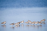Ding Darling National Wildlife Refuge, Sanibel Island, Florida; shorebirds standing in the shallow water of the refuge © Matthew Meier Photography, matthewmeierphoto.com All Rights Reserved