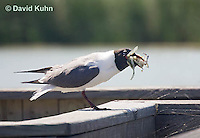 0907-0905  Laughing Gull Eating Soft Shell Crab from Saltwater Marsh, Larus atricilla (syn. Leucophaeus atricilla) © David Kuhn/Dwight Kuhn Photography