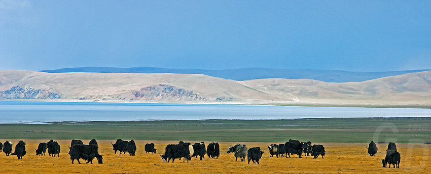 Grazing Yaks near Lake Namtso in Tibet and the highest saltwater lake in the world located at 4800 meter. <br /> Domesticated yaks have been kept for thousands of years, primarily for their milk, fibre and meat, and as beasts of burden. Their dried droppings are an important fuel, used all over Tibet, and are often the only fuel available on the high treeless Tibetan Plateau