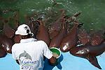 Nurse Shark show (Ginglymostoma cirratum) Oceanarium, San Martin de Pajarales island, Rosario islands, Cartagena de Indias, Colombia, South America. 2009