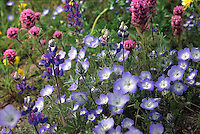 Native California wildflower mix including Lupines, Nemophila and Orthocarpus