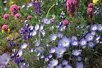 Native California wildflower mix including Lupines, Nemophila and Orthocarpus