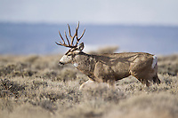 Trophy mule deer buck in sagebrush in Western Wyoming