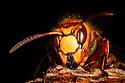 Queen Hornet {Vespa crabro} on dead wood, Nottinghamshire, UK