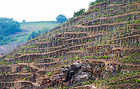 Terraced vineyards in the Cote Rotie district around Ampuis in northern Rhone planted with the Syrah grape. Very steep hillsides with some terraces dating from Roman times.  Ampuis, Cote Rotie, Rhone, France, Europe