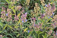 Salvia officinalis 'Albiflora' culinary sage herb in bloom flowering