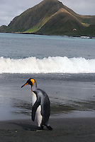 AKA Alfred Hitchcock - A King penguin, Sandy Bay, Macquarie Island