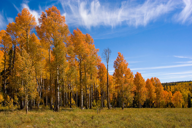 Golden Aspen leaves, aspen trees in fall, white bark, autumn, fall leaves, fall color, Markagunt Plateau, Cedar Mountain, Hwy 132, Mile Marker 24, Dixie National Forest, Utah, UT, Image ut324-18909, Photo copyright: Lee Foster, www.fostertravel.com, lee@fostertravel.com, 510-549-2202