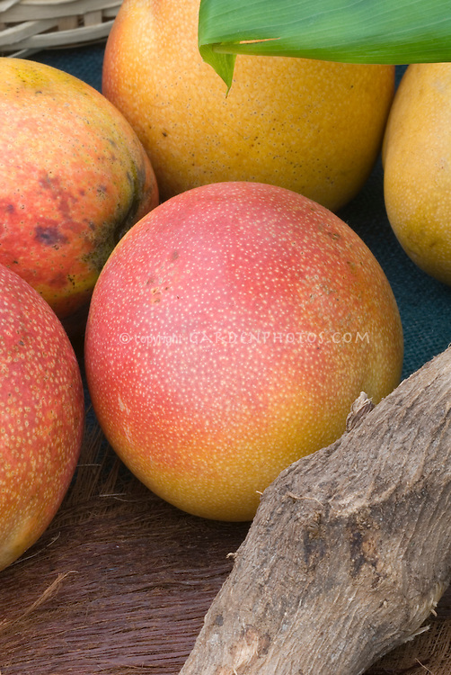 Mangifera indica Mango tropical fruits showing several picked ripe mangoes.