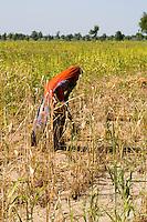Woman working in field with sari in rural area near Jodhpur, Rajasthan, India