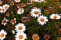 Daisy flowers (Bellis perennis or Leucanthemum vulgare of the Asteraceae family) in a garden.