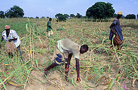 Mali. Province of Segou. Kondogola. Men at work in the fields. Sorghum harvesting.  © 2003 Didier Ruef