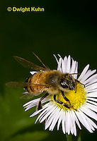 1B01-508z  Honeybee about to fly from flower, 4 wings spreading for flight, Apis mellifera