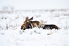 A cow moose hunkers down during a winter storm in Jackson Wyoming.