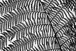 Fronds of rough tree fern (Dicksonia squarrosa), Westland National Park, New Zealand