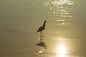Sandpiper,