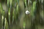 White Garden Snail, Theba pisana, Provence, abstract on grasses soft focus.France....