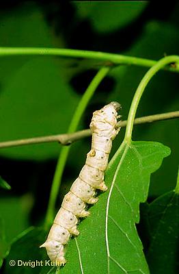 LE42-004z  Silkworm Moth - caterpillar on mulberry leaf