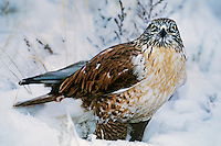 541800006 a wild wildlife rescue ferruginous hawk buteo regalis poses in a snow bank in central colorado united states