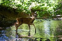 Rehkitz, Reh-Kitz, Kitz an einem Bach, Europäisches Reh, Ricke, Weibchen, Capreolus capreolus, Roe Deer, Chevreuil