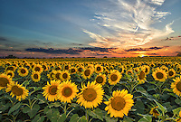Smithson made this photo of the day in July 2014. We made many attempt to get this photo going back several times to try and get  this field of sunflowers at sunset and on our last try it finally worked.  We had to added a little flash to keep enough light on the sun flowers as it was getting dark.  We were not alone trying to capture this photo along IH35 that day there were many cars stopping to take picture of sunflowers on this day and every time we came.  Farmers now are using sunflowers in their rotation of their crops so they can go on for miles