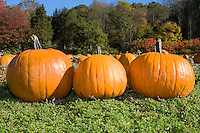 Three pumpkins on a farm in the autumn.