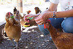Suzanne Kasso feeds greens to her chickens at her coop in Los Altos.