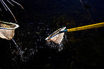UC Davis researcher Louise Conrad nets stunned fish on an electrofishing trip looking into invasive species near Discovery Bay, December 14, 2009.
