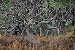 USA, Texas, Aransas Bay, live oak grove