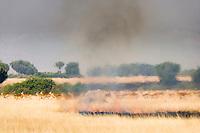 Uganda Kob run from burning grass in Queen Elizabeth National Park, Uganda, East Africa