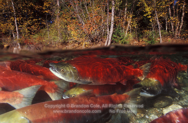 mb43. Sockeye Salmon (Oncorhynchus nerka). British Columbia, Canada..Photo Copyright © Brandon Cole. All rights reserved worldwide.  www.brandoncole.com..This photo is NOT free. It is NOT in the public domain. This photo is a Copyrighted Work, registered with the US Copyright Office. .Rights to reproduction of photograph granted only upon payment in full of agreed upon licensing fee. Any use of this photo prior to such payment is an infringement of copyright and punishable by fines up to  $150,000 USD...Brandon Cole.MARINE PHOTOGRAPHY.http://www.brandoncole.com.email: brandoncole@msn.com.4917 N. Boeing Rd..Spokane Valley, WA  99206  USA.tel: 509-535-3489