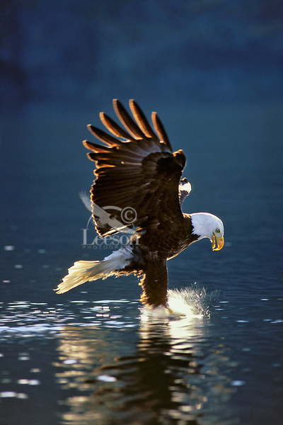 Bald Eagle (Haliaeetus leucocephalus) at the moment of catching a fish. Pacific NW.