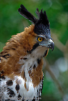 Ornate Hawk-Eagle, (Spizaetus ornatus), portrait, tropical rainforest, Rio Tuichi, Madidi National Park, Bolivia.