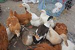 Ducks, Otovalo Market