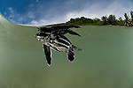 Leatherback sea turtle (Dermochelys coriacea)