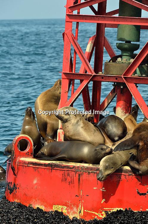 Stock Photo of Sea Lions