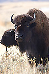 A male bison looks like he's ready to charge. Bison are prevalent in Yellowstone National Park.