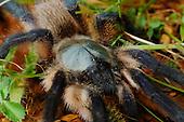 Tarantula (Monocentropus balfouri), endemic to Socotra, Yemen.