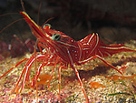 Kenting, Taiwan -- Durban dancer shrimp