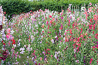 Lathyrus odoratus 'Old Fashioned Mixed' Sweet peas
