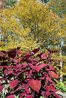 Coleus Solenostemon Big Red Judy annual foliage plant with red leaves, in autumn with tree fall foliage colors, red and gold color theme, big annual plant, grows tall