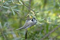 Mountain Chickadee (Poecile gambeli) foraging in a Silverleaf Oak (Quercus hypoleucoides), Arizona