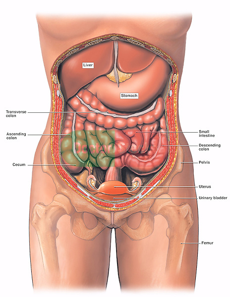 anatomy of the female abdomen and pelvis cut away view doctor stock : diagram of abdomen - findchart.co