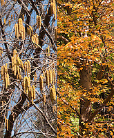 Betula allegheniensis tree birch composite picture, catkins and fall autumn foliage color