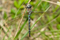 Springtime Darner (Basiaeschna janata) Dragonfly - Teneral Female, Ward Pound Ridge Reservation, Cross River, Westchester County, New York