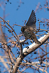 A European Starling lands on a branch and begins to preen