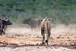Male lion, Panthera leo, Addo National Park, stalking buffalo, Eastern Cape, South Africa