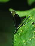 Ebony Jewel-wing Damselfly female